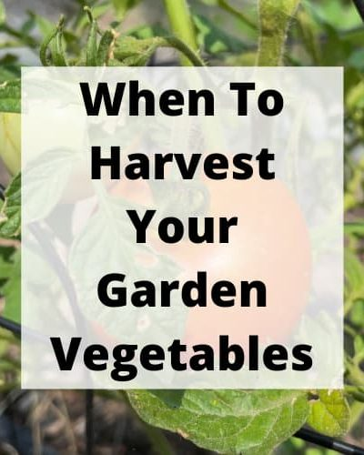 Do you wonder when to harvest your garden's vegetables? I'm sharing how my straw bale garden is growing and when to harvest the produce.